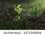primula veris. primula veris or ... | Shutterstock . vector #1071543896