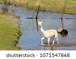 white alpaca in water  ... | Shutterstock . vector #1071547868