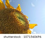 stingless bees are collecting... | Shutterstock . vector #1071560696