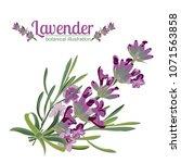 lavender flower on white...   Shutterstock .eps vector #1071563858