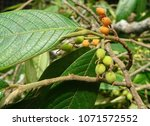 the fruits of common rough... | Shutterstock . vector #1071572552