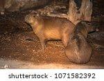 capybara in wildlife in brazil   Shutterstock . vector #1071582392