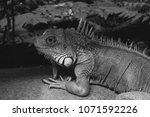 the  iguana  iguana iguana  is... | Shutterstock . vector #1071592226