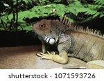 the  iguana  iguana iguana  is... | Shutterstock . vector #1071593726
