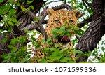 male leopard sitting in a... | Shutterstock . vector #1071599336