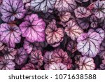 purple heuchera hybrid obsidian ... | Shutterstock . vector #1071638588