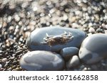 crab on gravel. sea animal ... | Shutterstock . vector #1071662858