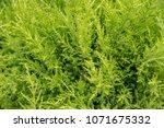 many green golden leyland hedge ... | Shutterstock . vector #1071675332