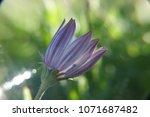 single african daisy flower...   Shutterstock . vector #1071687482