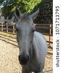 horse  equus ferus caballus ... | Shutterstock . vector #1071713795