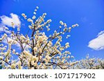 view of the cherry blossoms in... | Shutterstock . vector #1071717902