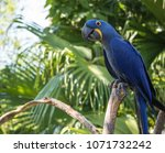 Blue Macaw Poses For Your...