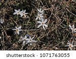 close up of narcissus serotinus ... | Shutterstock . vector #1071763055