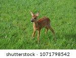 very close to a deer  looking... | Shutterstock . vector #1071798542