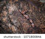 closeup of a group of fire bugs ... | Shutterstock . vector #1071800846