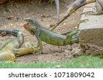 brown land iguana in parque de... | Shutterstock . vector #1071809042
