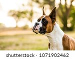 boxer dogs playing at the park | Shutterstock . vector #1071902462