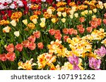 Field of various color tulips during summer - stock photo