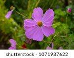 dainty soft pale  pink flowers... | Shutterstock . vector #1071937622