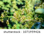 spring blooming lychee   nectar ... | Shutterstock . vector #1071959426