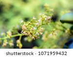 spring blooming lychee   nectar ... | Shutterstock . vector #1071959432