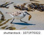 A Western Snowy Plover With A...