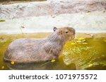capybara in thai  thailand.   Shutterstock . vector #1071975572