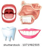 anatomy of human teeth... | Shutterstock .eps vector #1071982505