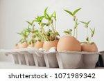 seedling plants in eggshells ... | Shutterstock . vector #1071989342