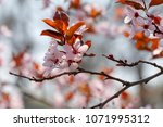 Small photo of Beautiful spring pink blossom of fruit tree. Flowering tree. Branch with the first flower.
