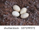 Clutch Of Canada Goose Eggs In...