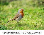 the european robin  known... | Shutterstock . vector #1072123946