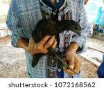 a man carrying a black cock | Shutterstock . vector #1072168562