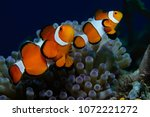 Couple of clownfish  western...