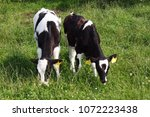 young calves with green grass... | Shutterstock . vector #1072223438