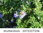 bee collecting nectar on a... | Shutterstock . vector #1072227236