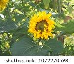 fresh flower of big sunflower ... | Shutterstock . vector #1072270598