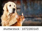 Stock photo cat and dog abyssinian cat golden retriever together on rusty colorful background sad anxious 1072283165