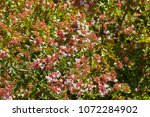 Small photo of Pink flowers of Abelia x grandiflora blossoming during summer in Australia