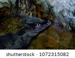 Small photo of Caiman crocodile is a genus of reptiles of the Alligatoridae family, the subfamily Caimaninae, inhabiting Central and South America