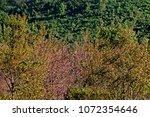 pink cherry blossom tree on... | Shutterstock . vector #1072354646