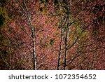 pink cherry blossom tree on... | Shutterstock . vector #1072354652