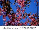 pink cherry blossom | Shutterstock . vector #1072356302
