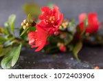 chaenomeles japonica   pink... | Shutterstock . vector #1072403906