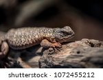 close up on a reptile iguana ...   Shutterstock . vector #1072455212