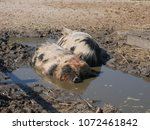 little swines in the mud | Shutterstock . vector #1072461842