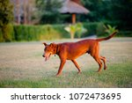 cute dog walk in the front... | Shutterstock . vector #1072473695