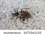 black and brown kissing bug. | Shutterstock . vector #1072562135