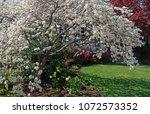 flowering spring dogwood tree... | Shutterstock . vector #1072573352
