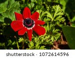 Small photo of Red Summer Pheasant's Eye flower in St. Gallen, Switzerland. Its Latin name is Adonis Aestivalis, native to Southern Europe